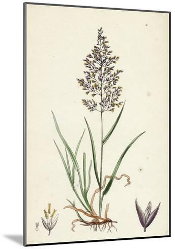Agrostis Vulgaris Common Bent-Grass--Mounted Giclee Print