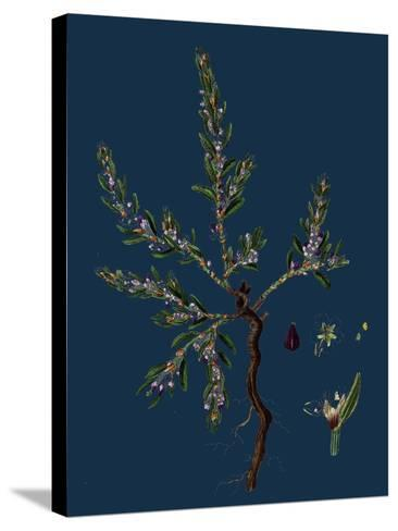 Vicia Lathyroides; Spring Vetch--Stretched Canvas Print