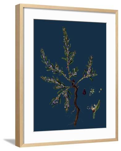Vicia Lathyroides; Spring Vetch--Framed Art Print