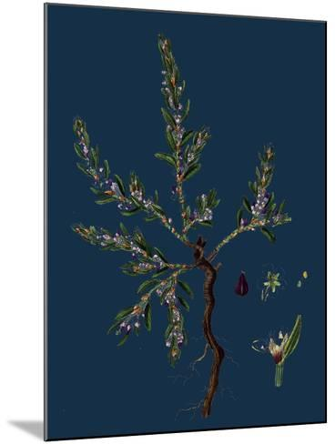 Vicia Lathyroides; Spring Vetch--Mounted Giclee Print