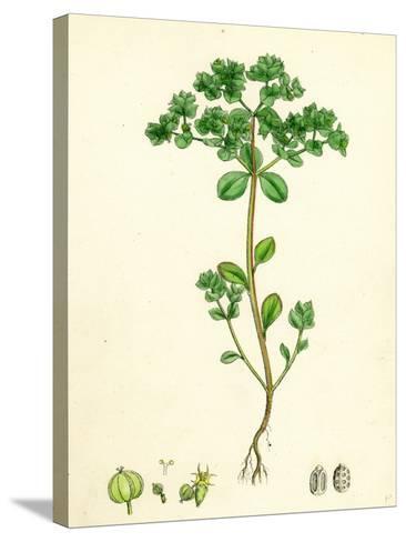 Euphorbia Peplus Petty Spurge--Stretched Canvas Print