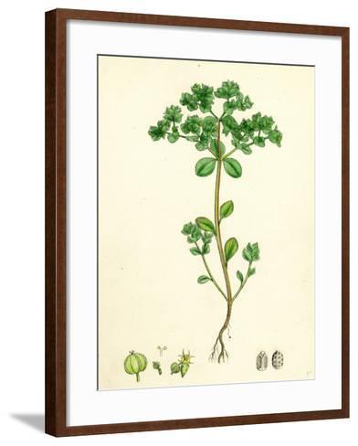 Euphorbia Peplus Petty Spurge--Framed Art Print