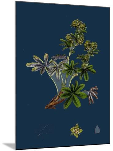 Dryas Octopetala; Mountain Avens--Mounted Giclee Print