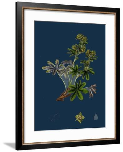 Dryas Octopetala; Mountain Avens--Framed Art Print