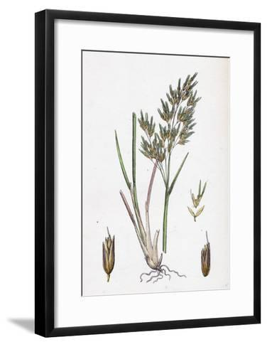 Aira Alpina Alpine Hair-Grass--Framed Art Print
