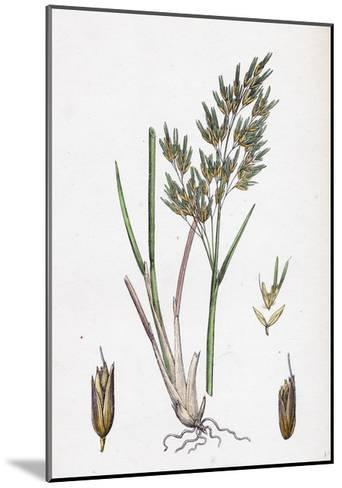 Aira Alpina Alpine Hair-Grass--Mounted Giclee Print