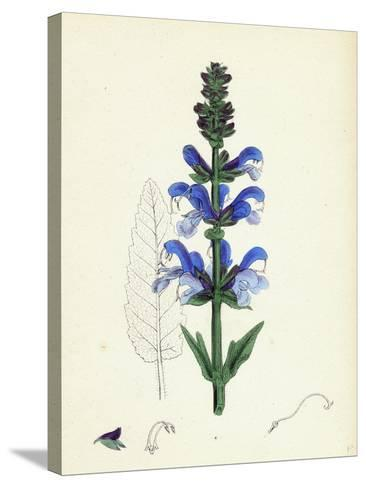Salvia Pratensis Meadow Clary--Stretched Canvas Print