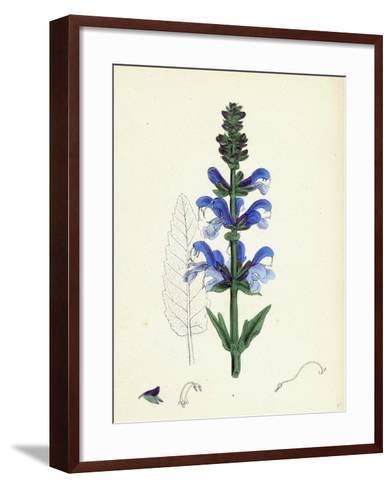 Salvia Pratensis Meadow Clary--Framed Art Print