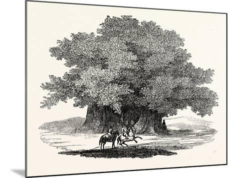 Great Chesnut Tree of Mount Aetna--Mounted Giclee Print