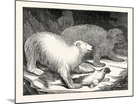 Polar Bears and Seal--Mounted Giclee Print