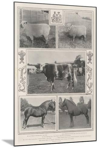 The Cattle Show at Cardiff, the Royal Prize Winner and Others--Mounted Giclee Print
