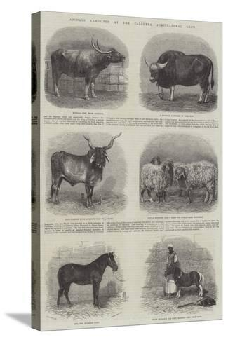 Animals Exhibited at the Calcutta Agricultural Show--Stretched Canvas Print