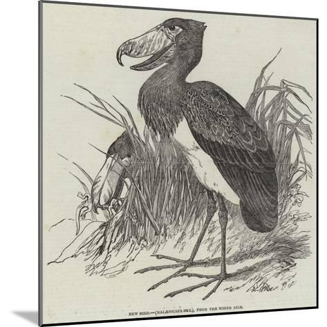 New Bird, (Balaeniceps Rex), from the White Nile--Mounted Giclee Print