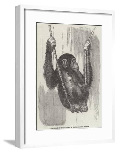 Chimpanzee, in the Gardens of the Zoological Society--Framed Art Print