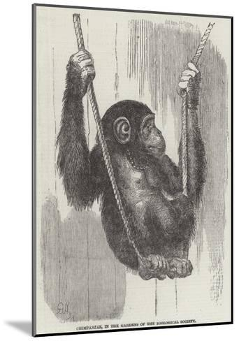 Chimpanzee, in the Gardens of the Zoological Society--Mounted Giclee Print