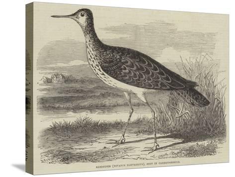 Sandpiper (Totanus Bartramius), Shot in Cambridgeshire--Stretched Canvas Print