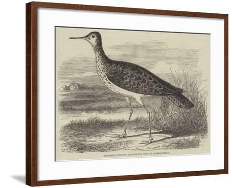 Sandpiper (Totanus Bartramius), Shot in Cambridgeshire--Framed Art Print
