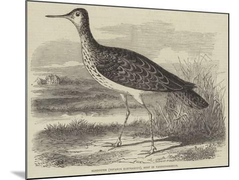 Sandpiper (Totanus Bartramius), Shot in Cambridgeshire--Mounted Giclee Print