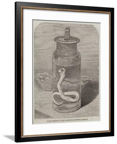 Young Python in the Zoological Society's Gardens--Framed Art Print