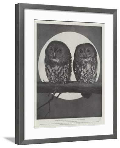 Studies from Life at the Zoological Gardens, Tawny Owls--Framed Art Print