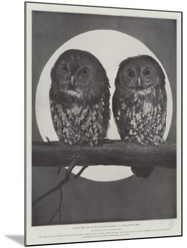 Studies from Life at the Zoological Gardens, Tawny Owls--Mounted Giclee Print