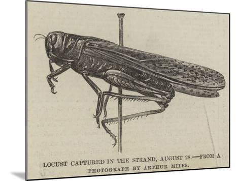 Locust Captured in the Strand, 28 August--Mounted Giclee Print