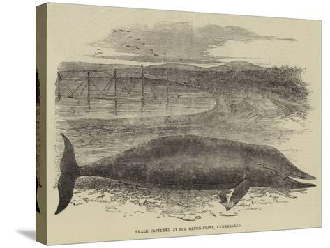 Whale Captured at the Grune-Point, Cumberland--Stretched Canvas Print
