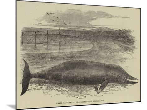 Whale Captured at the Grune-Point, Cumberland--Mounted Giclee Print