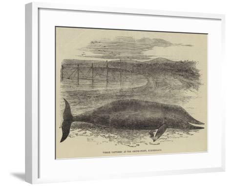 Whale Captured at the Grune-Point, Cumberland--Framed Art Print