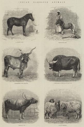 Indian Domestic Animals--Stretched Canvas Print