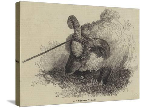 A Vagrom Ram--Stretched Canvas Print