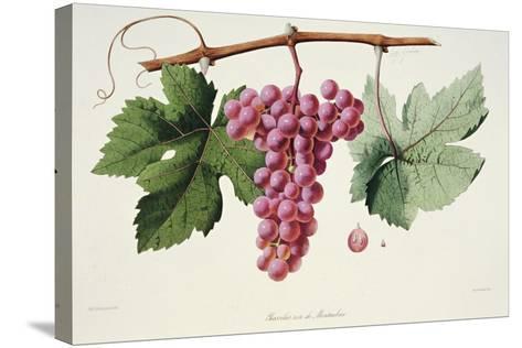 Ampelography, Grape Chasselas Rose De Montauban Auvergne--Stretched Canvas Print