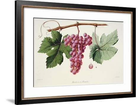 Ampelography, Grape Chasselas Rose De Montauban Auvergne--Framed Art Print