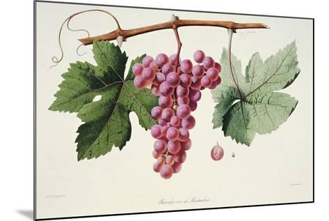 Ampelography, Grape Chasselas Rose De Montauban Auvergne--Mounted Giclee Print