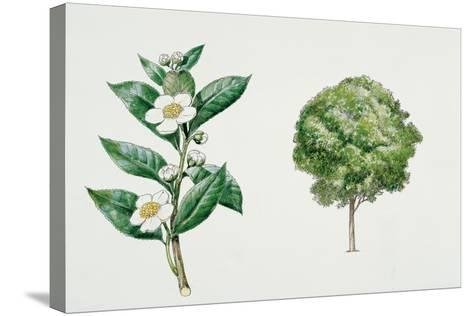 Botany, Theaceae, Tea Plant Camellia Sinensis with Flowers and Leaves--Stretched Canvas Print