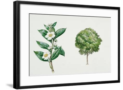 Botany, Theaceae, Tea Plant Camellia Sinensis with Flowers and Leaves--Framed Art Print