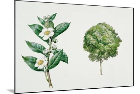 Botany, Theaceae, Tea Plant Camellia Sinensis with Flowers and Leaves--Mounted Giclee Print