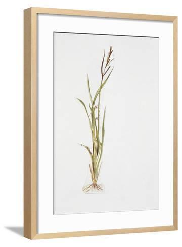 Lesser Pond-Sedge (Carex Acutiformis)--Framed Art Print