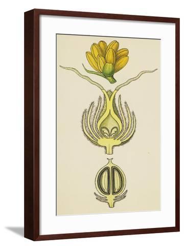 Flowers and Fruit of Balanops Vieillardii--Framed Art Print