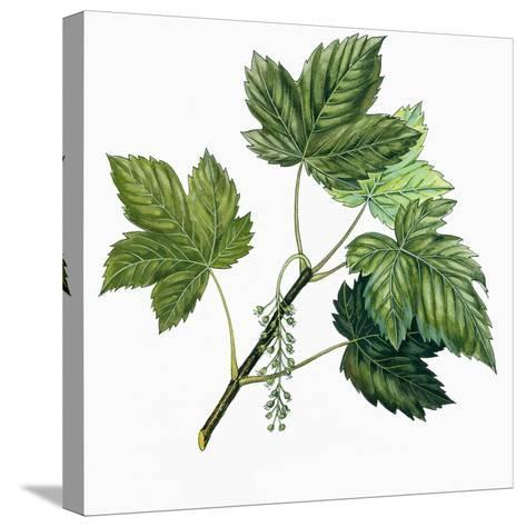Aceraceae, Leaves of Sycamore Maple Acer Pseudoplatanus--Stretched Canvas Print