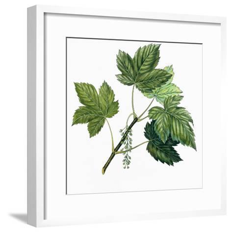 Aceraceae, Leaves of Sycamore Maple Acer Pseudoplatanus--Framed Art Print