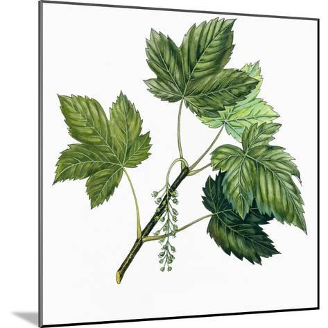 Aceraceae, Leaves of Sycamore Maple Acer Pseudoplatanus--Mounted Giclee Print