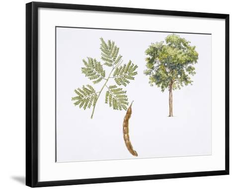 Angico-Cedro (Parapiptadenia Rigida) Plant with Flower, Leaf and Fruit--Framed Art Print