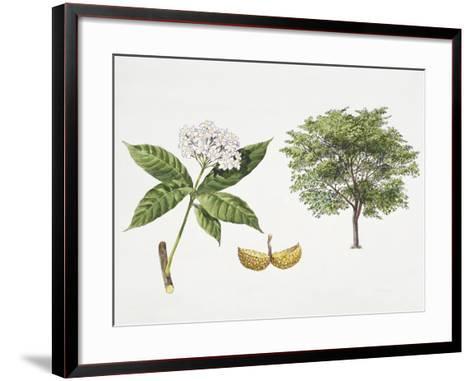 Tabernaemontana Fuchsiifolia Plant with Flower, Leaf and Fruit--Framed Art Print