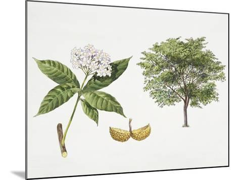 Tabernaemontana Fuchsiifolia Plant with Flower, Leaf and Fruit--Mounted Giclee Print