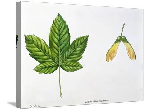 Leaves and Fruits Samara, Keys of Sycamore Maple Acer Pseudoplatanus--Stretched Canvas Print