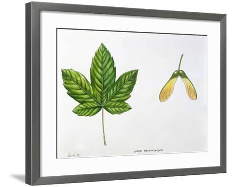 Leaves and Fruits Samara, Keys of Sycamore Maple Acer Pseudoplatanus--Framed Art Print