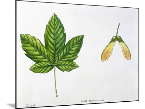 Leaves and Fruits Samara, Keys of Sycamore Maple Acer Pseudoplatanus--Mounted Giclee Print