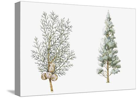 Arizona Cypress (Cupressus Arizonica) Plant, Foliage and Berries--Stretched Canvas Print