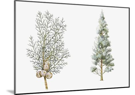 Arizona Cypress (Cupressus Arizonica) Plant, Foliage and Berries--Mounted Giclee Print